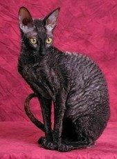 black cornish rex cat