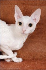 cornish rex cat breed