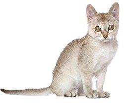 small singapura cat