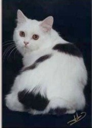 cymric cat with short tail or rumpy riser