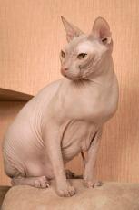 don sphynx cat