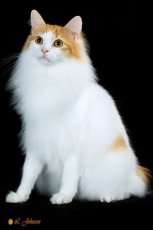 longhaired japanese bobtail cat