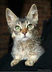 brown tabby la perm cat
