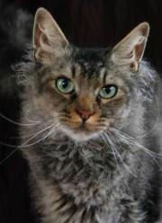 curly-coated la perm cat
