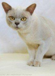 lilac burmese cat