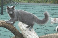 longhaired russian blue cat