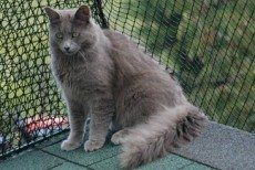 longhaired nebelung cats