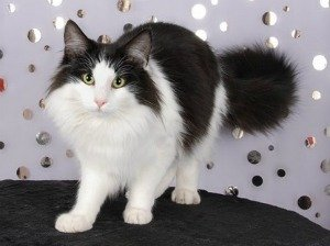 stunning norwegian forest cat