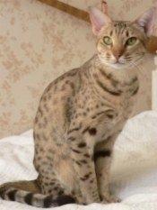 spotted ocicat
