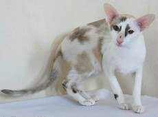 oriental shorthair cat, seal calico color