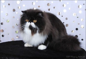 persian cat black bi-color