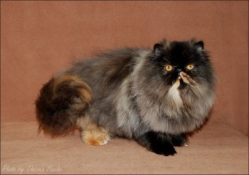 persian cat black tortie color