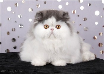 persian cat blue harlequin