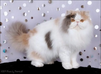 dilute calico harlequin persian cat