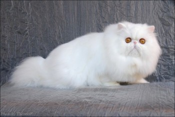 white persian cat