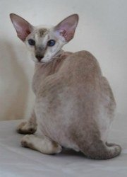 peterbald cat, hairless cat