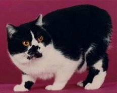 rumpy, black & white Manx cat