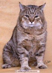 pixie bob, a bobtailed cat