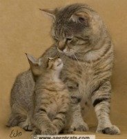 pixie bob cat with her kitten