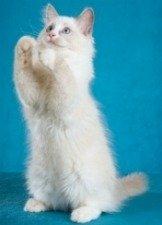 adorable ragdoll kitten
