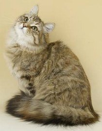 brown tabby siberian forest cat