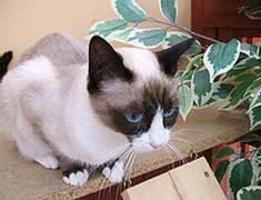 snowshoe cats