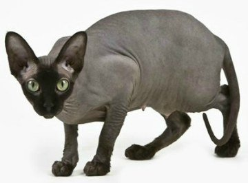 Sphynx Cat Breeders List