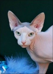 Sphynx Cat Breeders List