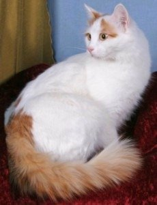 side view of Turkish van cat