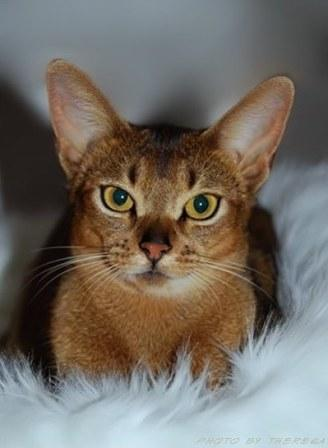 ruddy Abyssinian cat | Hillstblues Canasta of Sherada