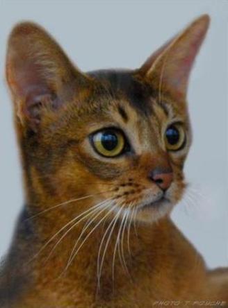 ruddy Abyssinian cat   Hillstblues Canasta of Sherada