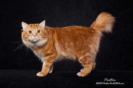 red tabby American Bobtail cat