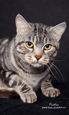silver tabby American Bobtail cat
