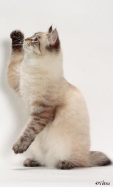 seal lynx point American Bobtail cat