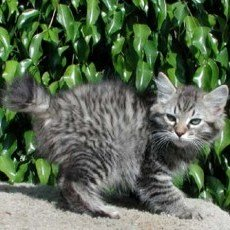 seal point American Bobtail