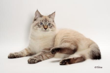 lynx point American Bobtail cat