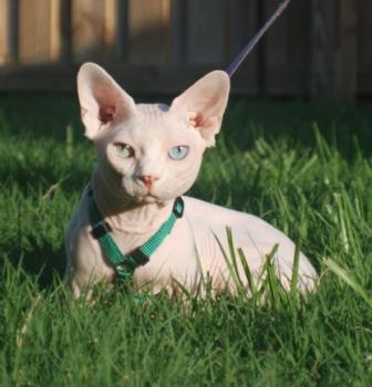 cute Bambino cat
