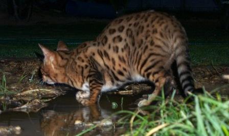 bengal cat hunting