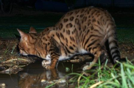 Bengal cat on the hunt