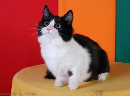 bi-color Munchkin cat