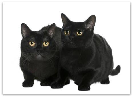 Bombay cats