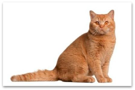 red British Shorthair cat