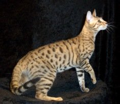 brown spotted Serengeti cat