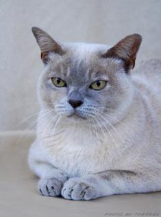 lilac tortie Burmese cat