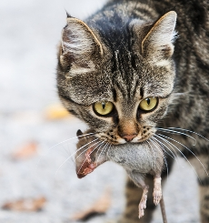 cat eating rodent