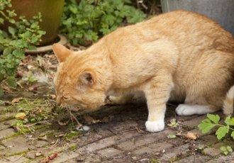 cat vomiting in garden