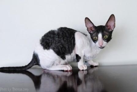 black harlequin Cornish Rex cat