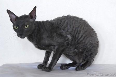 Blue Cornish Rex Cat