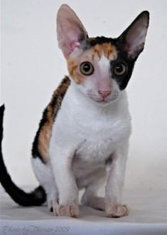calico Cornish Rex cat