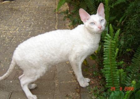 white, blue-eyed Cornish Rex